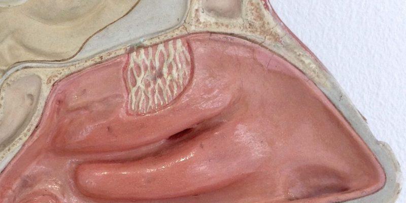 Anatomie Nase