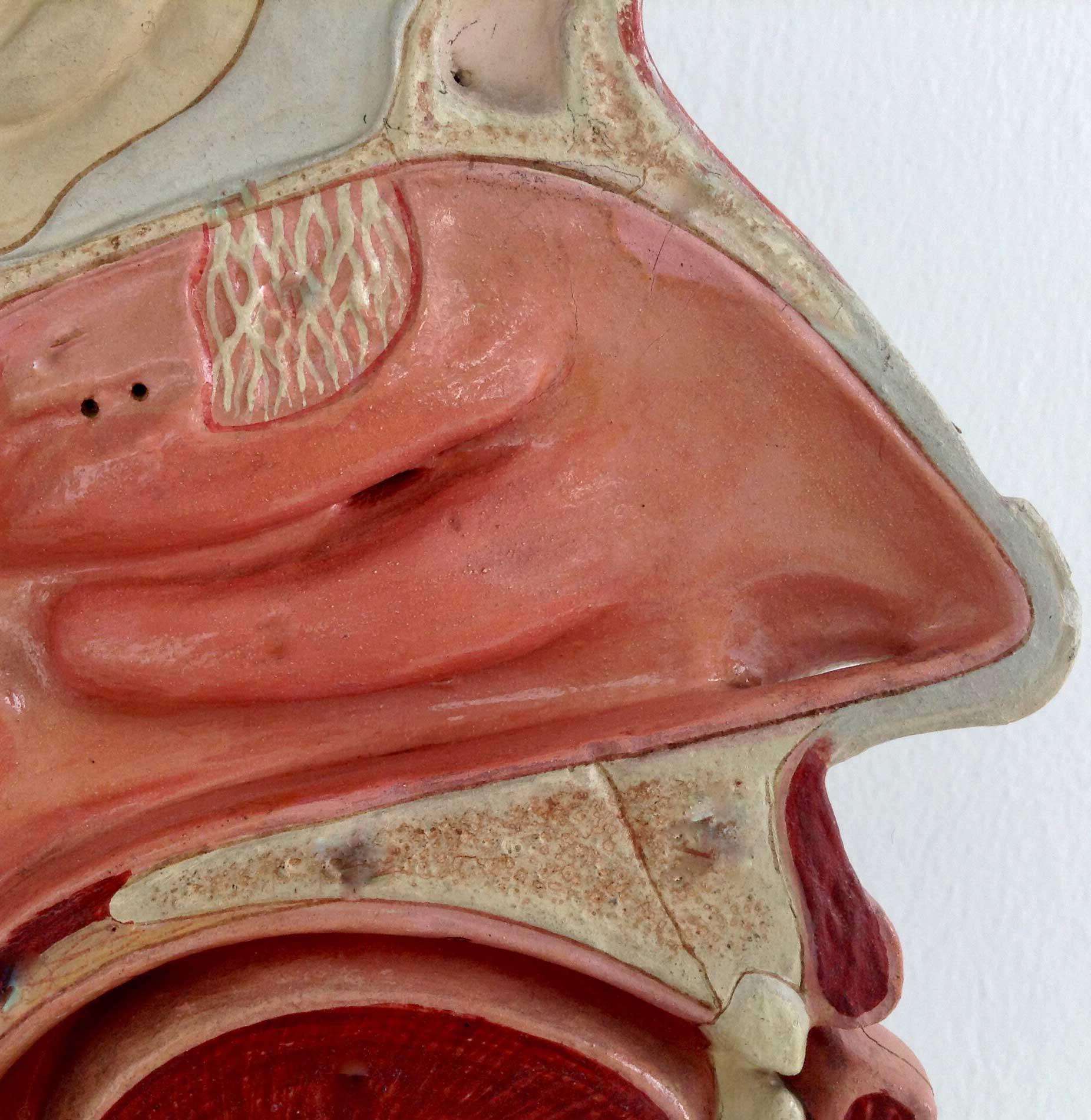 Anatomie Nase / Nasenscheidewand